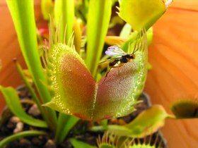 File:Venus Fly Trap Eating Compilation Scott's Revenge On The Caterpillars.ogv