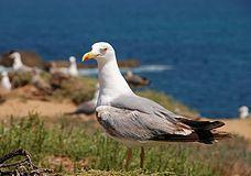 Seagull July 2008-6.jpg