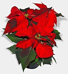 A potted plant sits against a white background. Its terminal leaves are crimson red, while the others are dark green.
