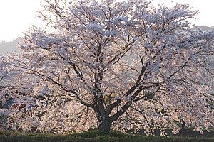 篠山川堤防の桜(ソメイヨシノ)