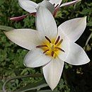 Photograph of Tulipa clusiana, showing six identical tepals (petals and sepals)