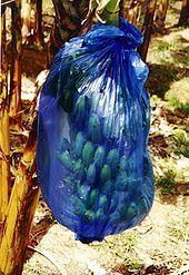 Photo of bananas in blue plastic bag
