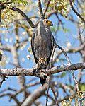 Dickinson's Kestrel (Falco dickinsoni) (23164736424).jpg