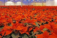 Wall-to-wall red and green plants inside a greenhouse