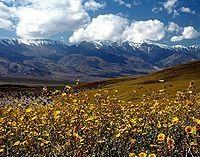 于死亡谷潮湿的冬季中绽放的野花