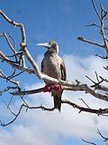 Red-footed Booby (Sula sula) -perching in tree.jpg