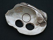 Freshwater mussel shell used for making buttons