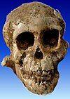 SelamAustralopithecus.jpg