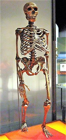 Slightly angled head-on view of a Neanderthal skeleton, stepping forward with the left leg