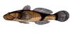 Benthophiloides brauneri.png
