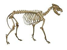 Photograph of a wolf skeleton
