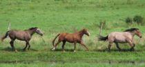 Pferde im Galopp.jpg