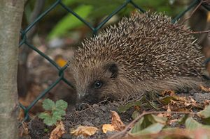 A hedgehog at night