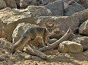 Brown fox on rocks