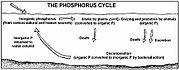 Diagram of the phosphorus cycle