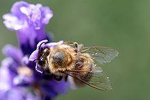 Bee wings in detail.jpg