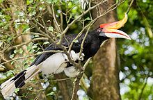 A black bird with white underbelly, white beak and red-orange horn perching on a branch