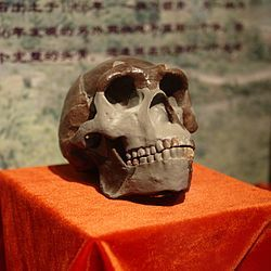 Peking Man Skull (replica) presented at Paleozoological Museum of China.jpg