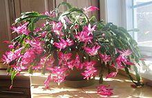 Cactus de noël rev.jpg