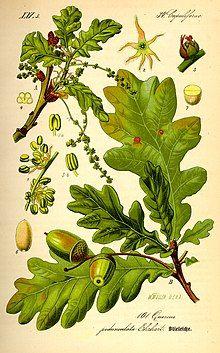 Illustration Quercus robur0.jpg