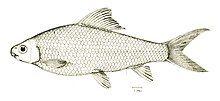 Cirrhinus molitorella.jpg