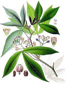 Manihot esculenta - Köhler–s Medizinal-Pflanzen-090.jpg