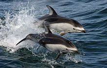 Pacific white-sided dolphins (Lagenorhynchus obliquidens) NOAA.jpg