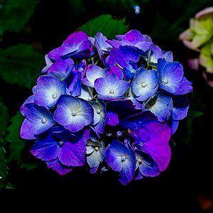 """""""Blue"""" hydrangea is often actually purple."""