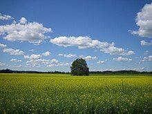 Brassica napus (raps).JPG
