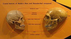 A human skull on the left facing a Neanderthal skull on the right, emphasizing the difference in braincase shape (more protruding in Neanderthal), shorter Neanderthal forehead, more defined brow ridge, larger nasal bone projection, lower cheekbone angulation, less defined chin, and an occipital bun