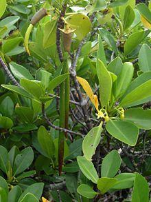Rhizophora mangle.jpg