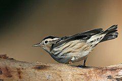 Black-and-white Warbler.jpg