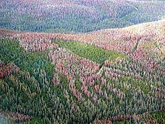 Photograph of a large area of forest. The green trees are interspersed with large patches of damaged or dead trees turning purple-brown and light red.