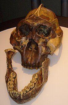 Paranthropus boisei skull.jpg