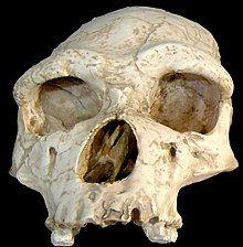 Homo erectus tautavelensis.jpg