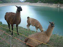 Llamas, Vernagt-Stausee, Italy.jpg