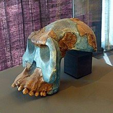 Musée national d'Ethiopie-Australopithecus garhi (1).jpg