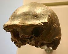 Ngandong 7-Homo erectus.jpg