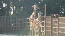 File:Giraffa camelopardalis reticulata-atTobuZoo-2012.ogv
