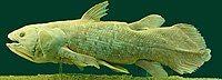 Latimeria Chalumnae - Coelacanth - NHMW.jpg