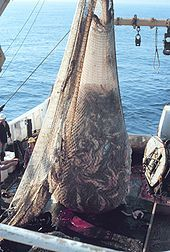 Photo of net filled with thousands of fish suspended from boom aboard trawler