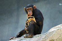 Lightmatter chimp.jpg