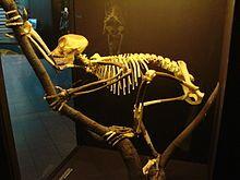 Proconsul skeleton reconstitution (University of Zurich).JPG