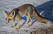 Red and gray fox on the snow