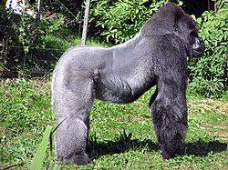 Bristol.zoo.western.lowland.gorilla.arp.jpg