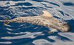 Globicephala macrorhynchus Tenerife 2012 (cropped).jpg