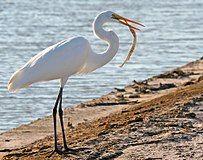 Great Egret Fish.jpg