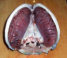 Photo of fish head split in half longitudinally with gill filaments crossing from top to bottom