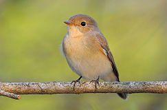 Red-breasted Flycatcher.jpg