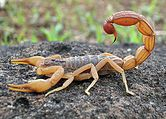Hottentotta tamulus, the Indian red scorpion